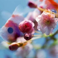 Titel: Cerisier Japonais, Kunstenaar: France Dubois - Poissons