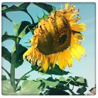 Titel: Sunflower, Kunstenaar: Pamplemood - Natural