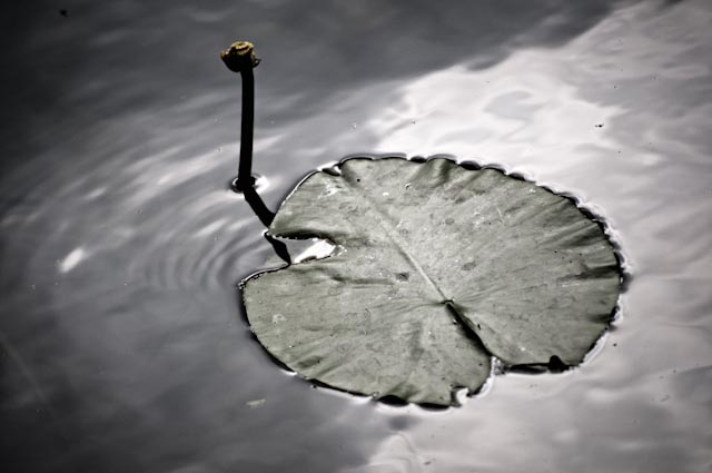 Titel: Black Swan, Kunstenaar: Giles Daoust - NATURE FANTASTIQUE